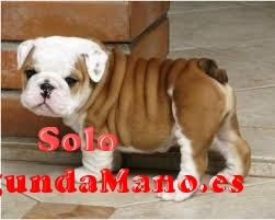 Los cachorros lindo y adorable bulldog inglés para su