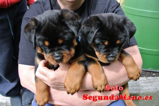 ¡Los perritos de Rottweiler ahora disponibles !!