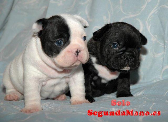 Macho y hembra bulldog francés