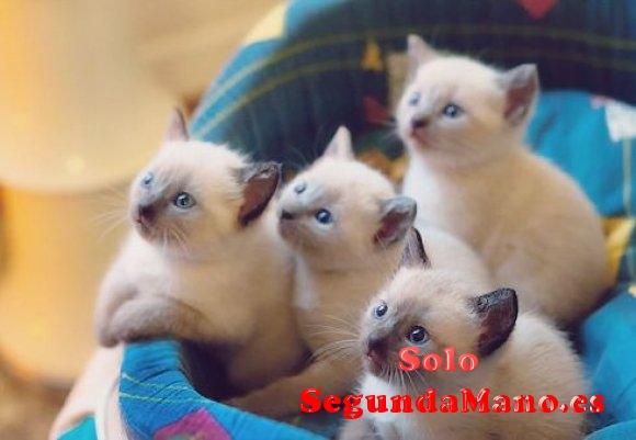 Machos y hembras gatitos siames
