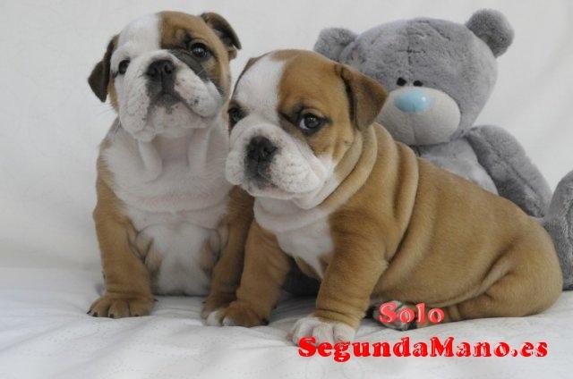 Niza cachorros bulldog Inglés para la adopción