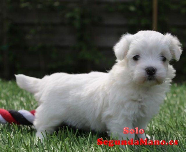 Para dar un precioso cachorro de Bichon Maltés Macho