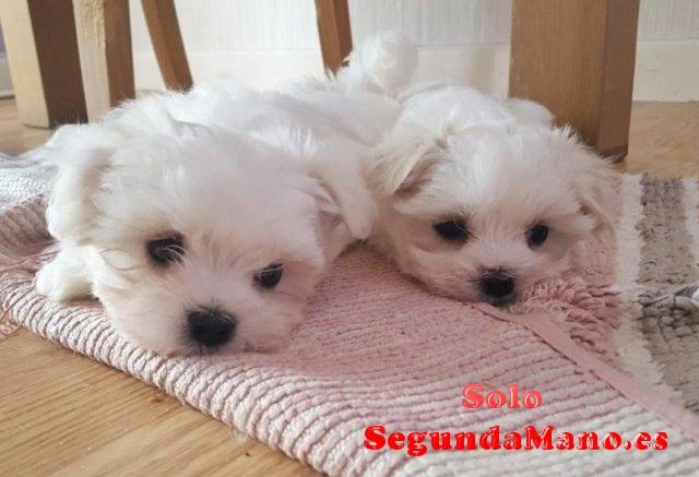 Pequeños cachorros malteses especiales