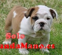 Perritos lindos y Calidad Bulldog Inglés disponibles Para
