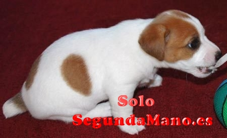 Perro Jack Russell Terrier Harold