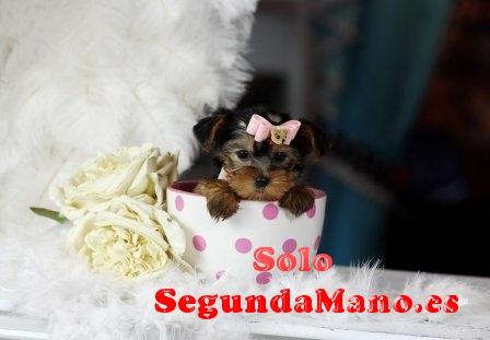 Preciosa camada de Yorkshire terrier toy