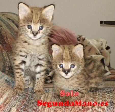 Preciosa camada de gatitos F1 Savannah