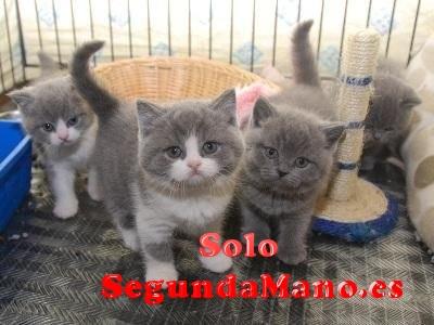 Preciosa camada de gatitos british