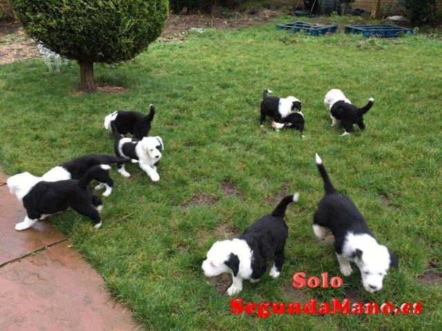 Preciosos Cachorritos de raza bobtail