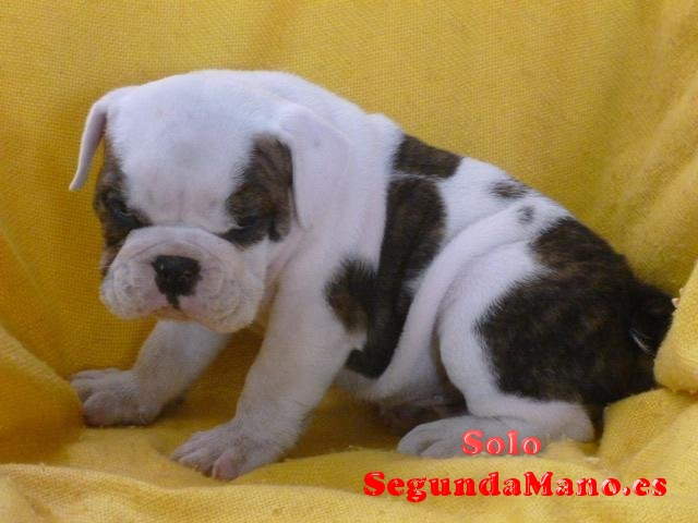 Preciosos Cachorros De Bulldog Ingles.