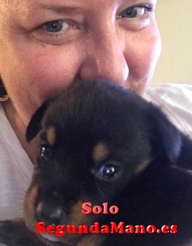 Preciosos cachorros Rottweiler en venta!