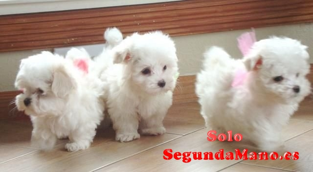 Preciosos cachorros de Bichon Maltés