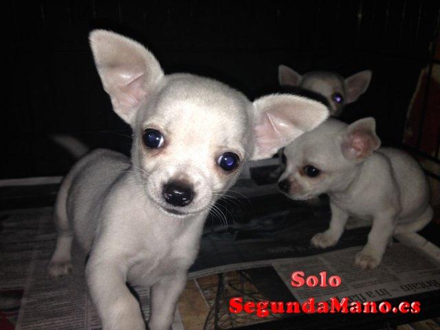 Preciosos cachorros de Chihuahua