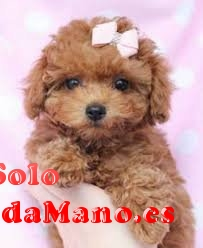 Preciosos cachorros de caniche toy muy hermosos
