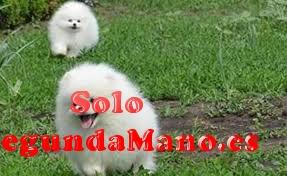 Preciosos cachorros de pomerania muy guapos