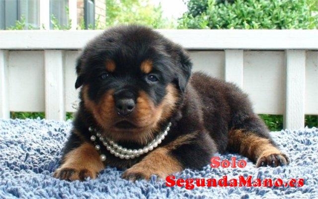 Preciosos cachorros de rottweiler