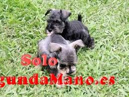 Preciosos cachorros de schnauzer miniatura blancos