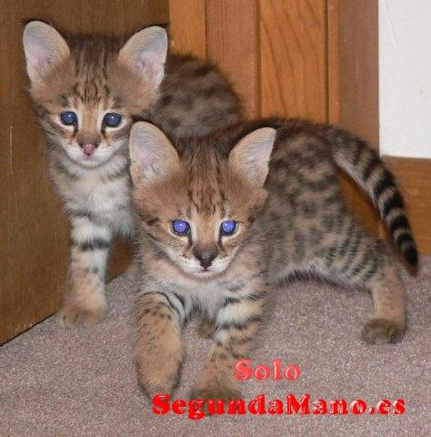 Preciosos gatitos de raza F1 Savanna atigrados.