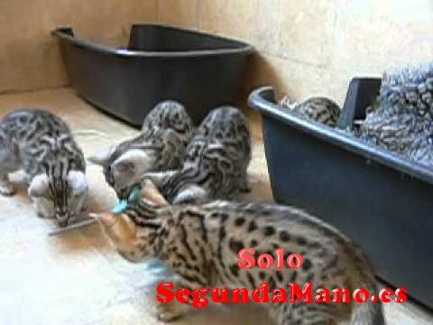 Preciosos gatitos de raza bengali gran calidad