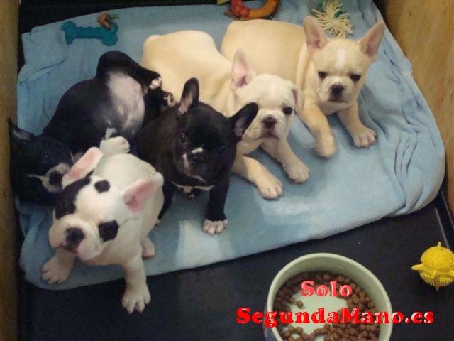 REGALO AKC Bulldog Francés Para Su Adopción