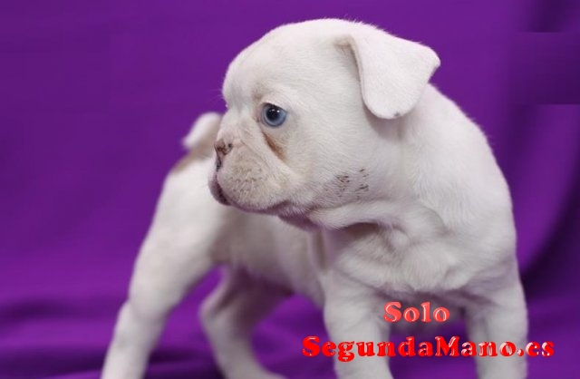 REGALO BULLDOG FRANCES MACHOS Y HEMBRAS