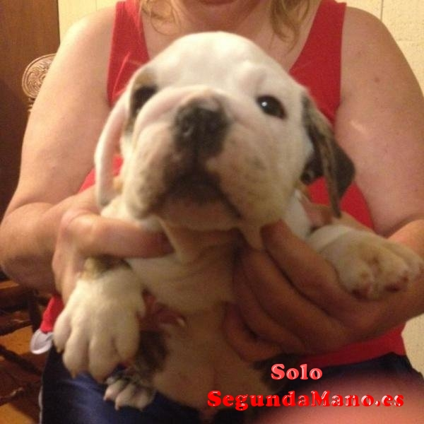 REGALO CACHORRITOS DE BULLDOG INGLES DISPONIBLES
