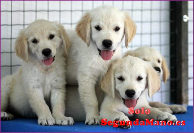 REGALO CACHORROS GOLDEN RETRIEVER
