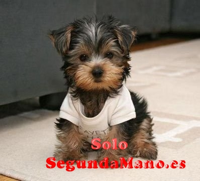 REGALO CACHORROS TOY DE YORKSHIRE TERRIER MINI PARA