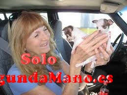 REGALO Cachorros de chihuahua pre-mimados