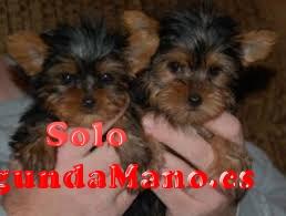 REGALO Cachorros yorkshire terrier Para Adopción// nuevo