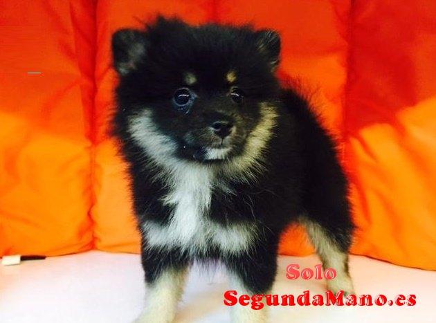 REGALO Camada cachorros Pomeranian MINIS y Standar desde.
