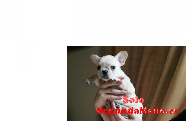 REGALO Camada de bulldog frances en adopcion