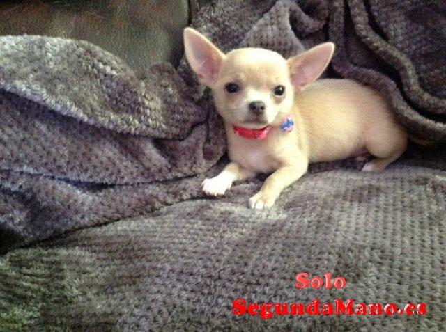 REGALO Chihuahua Cachorros Para La Adopcion