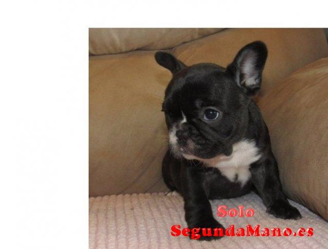 REGALO Cute Macho y hembra Bulldog francés cachorros para