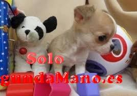 REGALO Dos cachorros de Chihuahua para re-homing