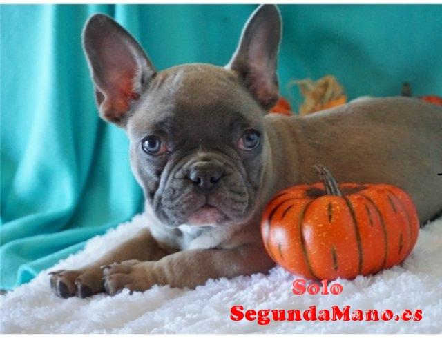 REGALO Los cachorros lindo y adorable bulldog francés para