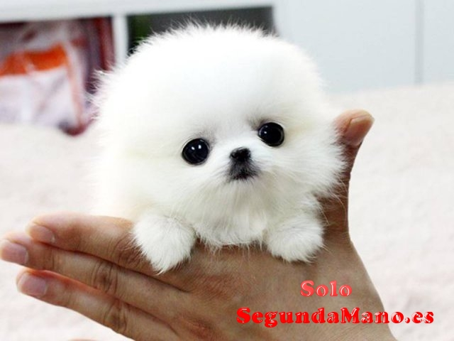 REGALO.Pomerania cachorro para la adopcion