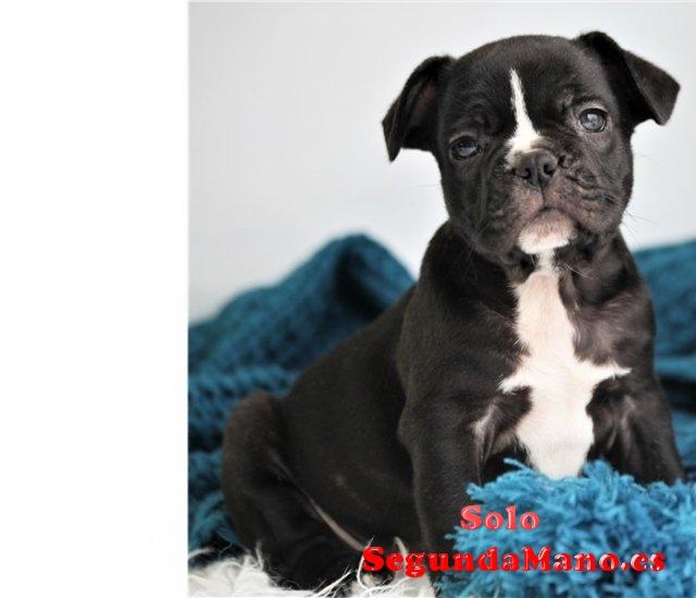 REGALO Precioso bulldog francés cachorros para la