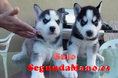 REGALO:::: Siberian Husky cachorros
