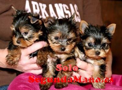 REGALO Yorkshire Terrier Cachorros Perros,