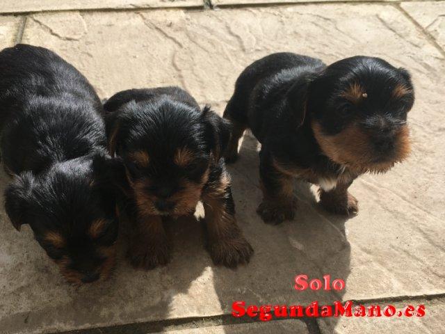 REGALO.Yorkshire cachorro para la adopcion