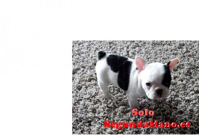 REGALO súper dulce impresionante Bulldog frances cachorros