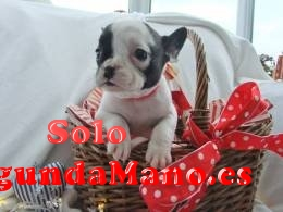 Regalo BULLDOG FRANCÉS Cachorros para su adopcion libre
