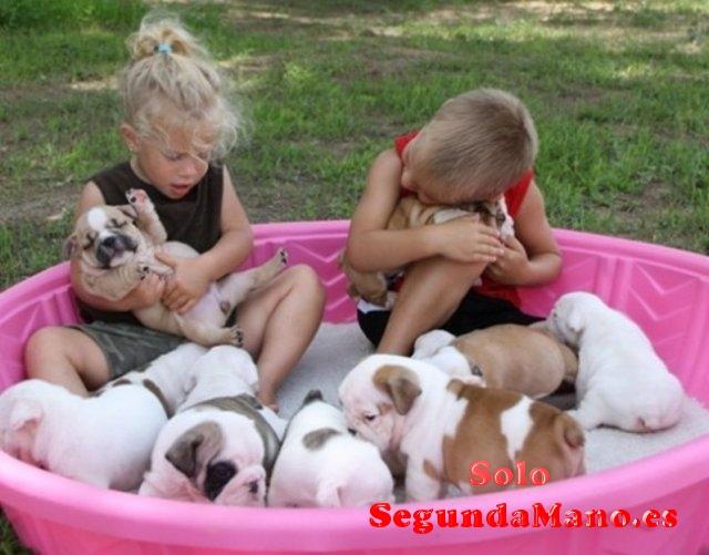 Regalo Buen bulldog Inglés cachorros para su adopción.