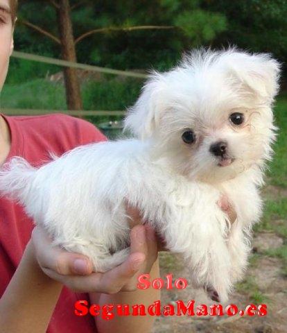 Regalo Cachorros Bichon Maltes en adopcion