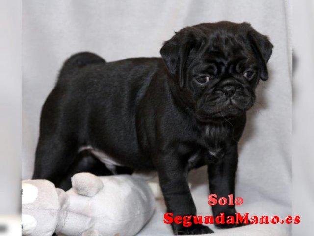 Regalo Cachorros Carlino Pug quiere una familia