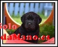 Regalo Cachorros Labrador Retriever Para Adopción