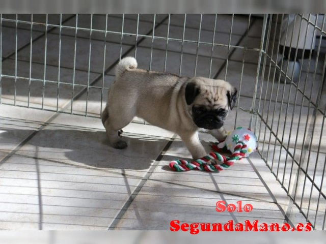 Regalo Cachorros adasfas Pug Carlino Cachorros para la venta