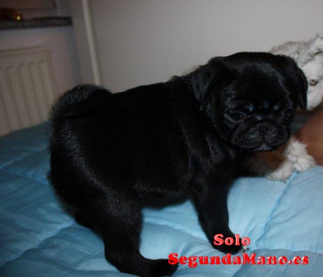 Regalo Cachorros de Carlino Pug
