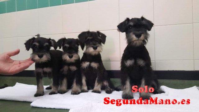Regalo Cachorros de schnauzer miniatura